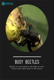 Image of Busy Beetles